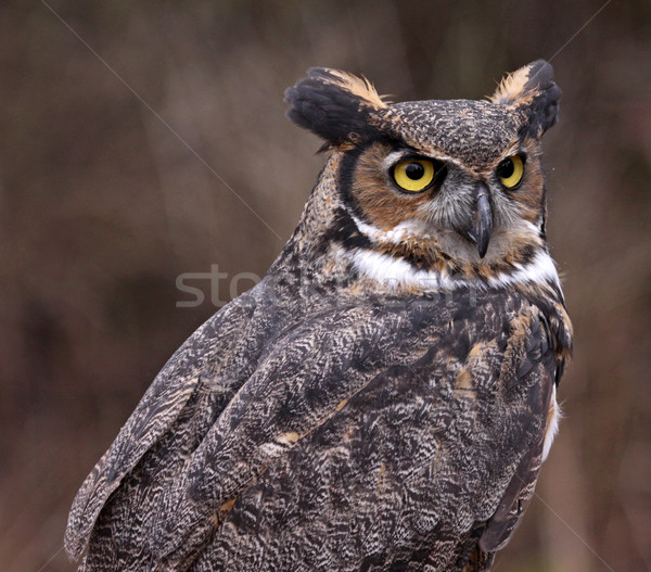 Great Horned Owl Profile Stock photo © ca2hill