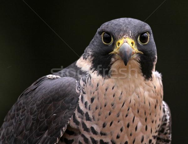 Falcon primo piano faccia fotocamera uccelli Foto d'archivio © ca2hill