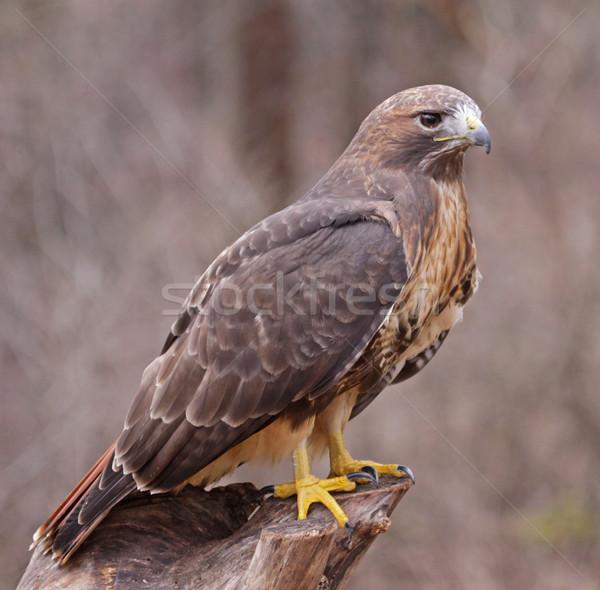 ястреб сидят лице природы птиц профиль Сток-фото © ca2hill
