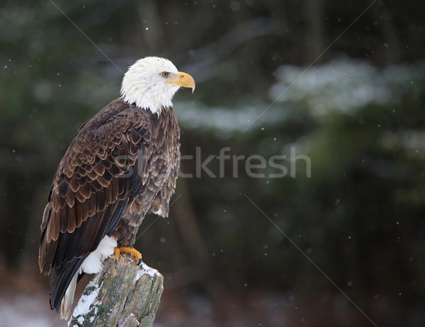 Perched Bald Eagle Stock photo © ca2hill