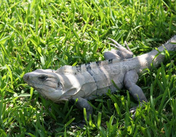 Yucatan Iguana