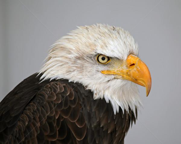 Bald Eagle Profile Stock photo © ca2hill
