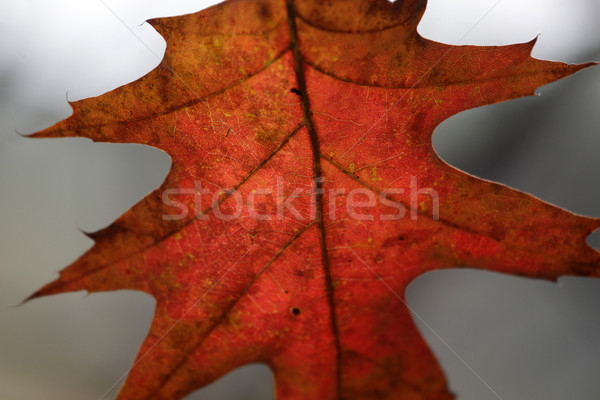 Crimson Oak Leaf Macro Stock photo © ca2hill