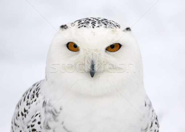 Snowy Owl Profile