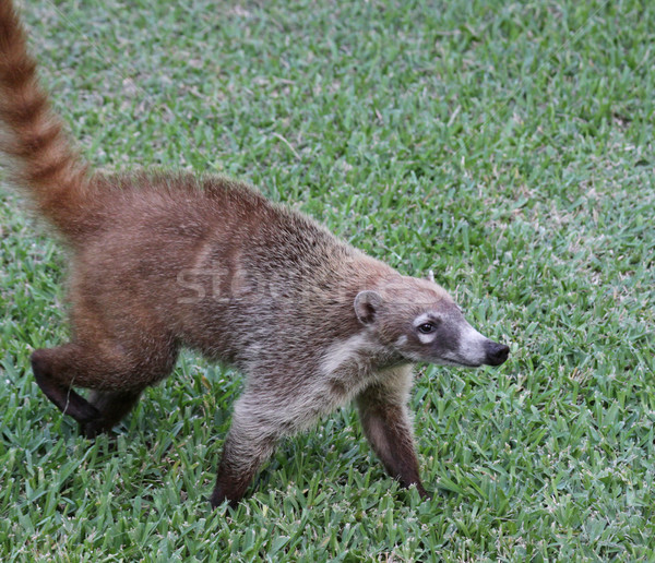 Proud Coati Stock photo © ca2hill