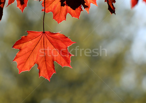 Backlit Copper Maple Leaf