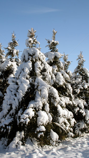 Snowy Evergreen Group Stock photo © ca2hill