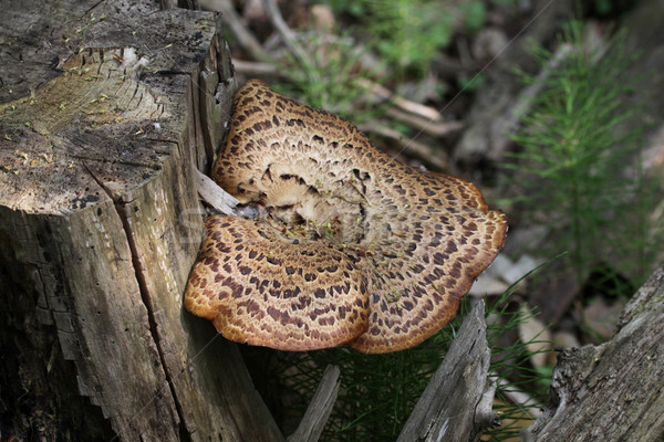 Dryad's Saddle Fungus Stock photo © ca2hill