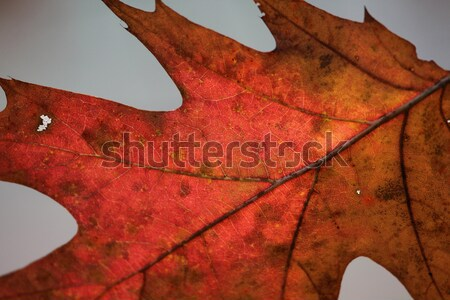 Rouge chêne feuille macro Retour Photo stock © ca2hill