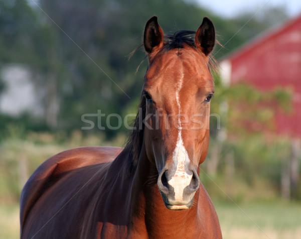 Concerned Horse Stock photo © ca2hill