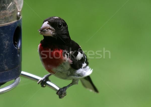 Stock fotó: Eszik · napraforgó · mag · madár