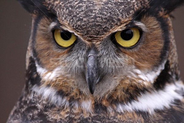 Stock photo: Great Horned Owl Eyes