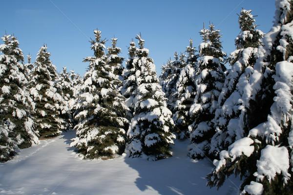 Snowy Evergreens Stock photo © ca2hill