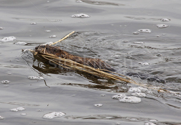 Nest Building Muskrat Stock photo © ca2hill