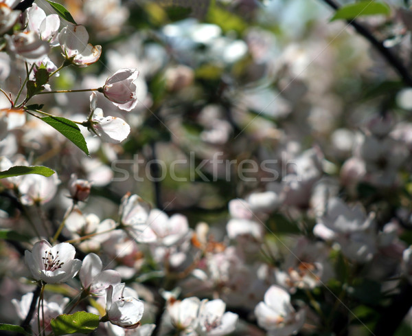 Backlit White Spring Flowers Stock photo © ca2hill