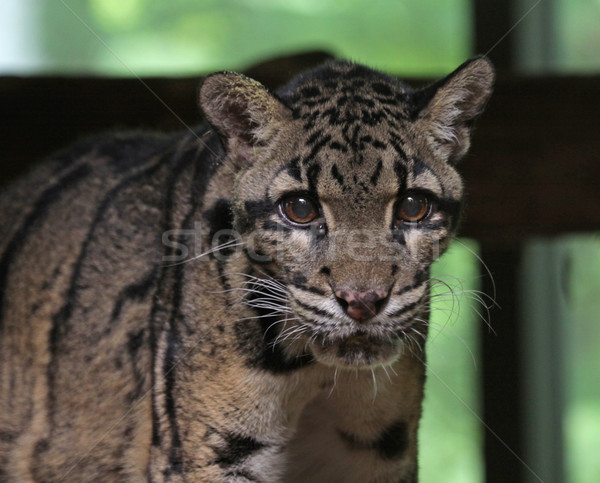 Clouded Leopard Face Stock photo © ca2hill