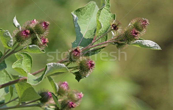 Blooming Bur Plant Stock photo © ca2hill