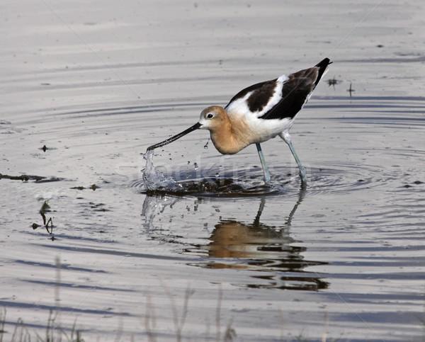 американский всплеск охота выстрел озеро Саскачеван Сток-фото © ca2hill