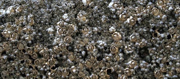 Row of Barnacles Stock photo © ca2hill