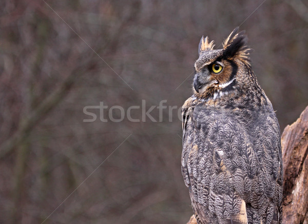 Great Horned Owl Copyspace Stock photo © ca2hill