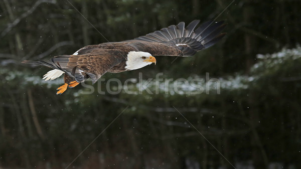 Stock photo: Bald Eagle in Flight