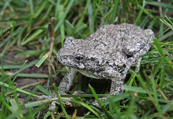 Gray Tree Frog in Grass Stock photo © ca2hill