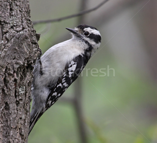 Scavenging Downy Woodpecker Stock photo © ca2hill