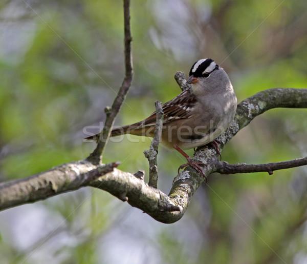 Wróbel posiedzenia drzewo wiosną ptaków ptaków Zdjęcia stock © ca2hill