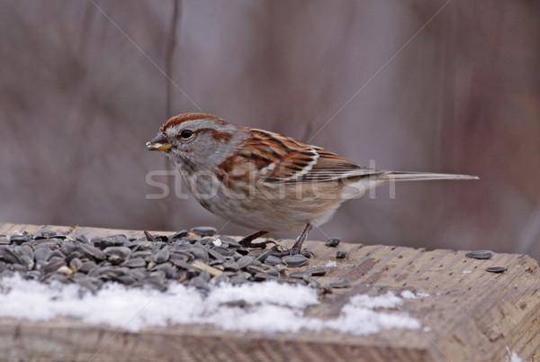 Americano árvore pardal sementes pássaro Foto stock © ca2hill