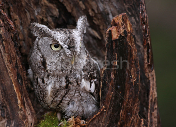 Eastern Screech Owl in Stump Stock photo © ca2hill