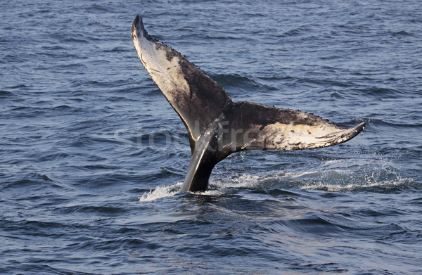 Humpback Whale Tail Stock photo © ca2hill