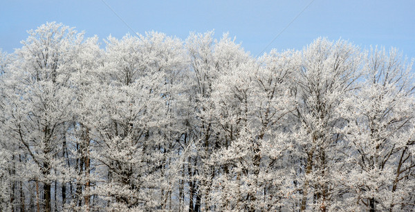 Frost Covered Treeline Stock photo © ca2hill