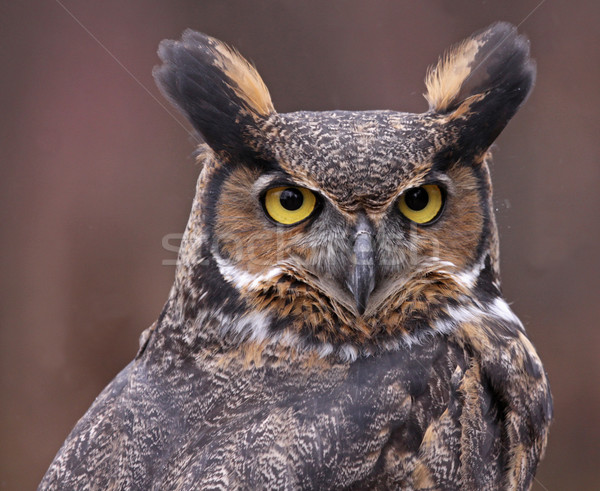 Great Horned Owl Face Stock photo © ca2hill