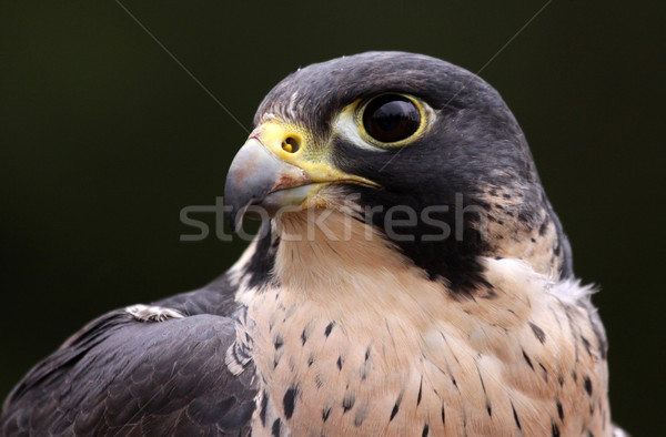 Peregrine Face Stock photo © ca2hill
