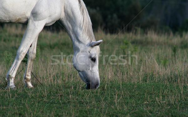 Spokojny arabski konia piękna biały twarz Zdjęcia stock © ca2hill