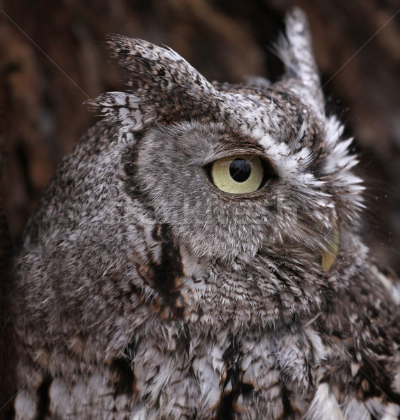 Eastern Screech Owl Profile Stock photo © ca2hill