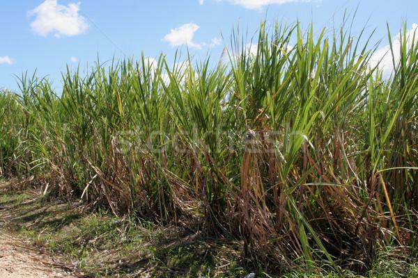 Zucchero di canna campi Repubblica Dominicana nubi strada Foto d'archivio © ca2hill