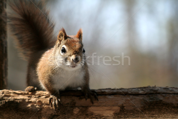 Stock photo: Startled Red Squirrel