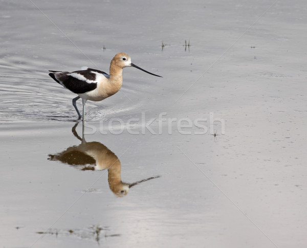 American Avocet Reflection  Stock photo © ca2hill