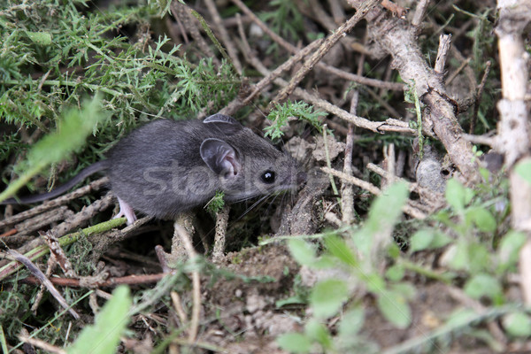Foraging Mouse Stock photo © ca2hill