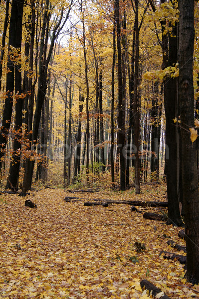 Stock photo: Yellow Autumn Path