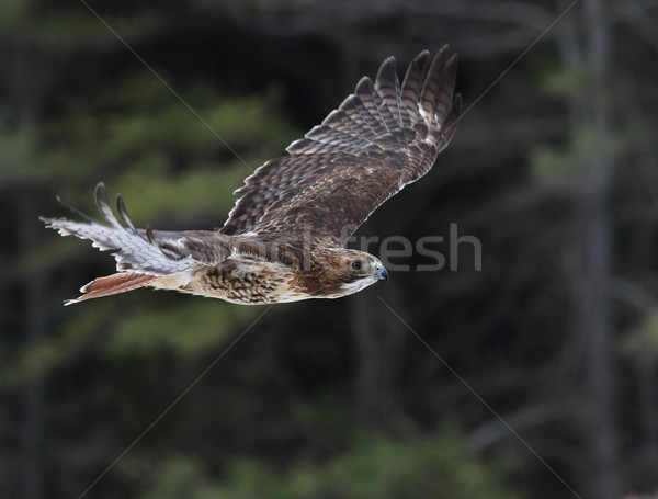 Gliding Red-tailed Hawk