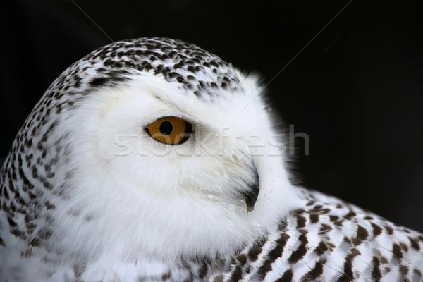 Snowy Owl Portrait Stock photo © ca2hill