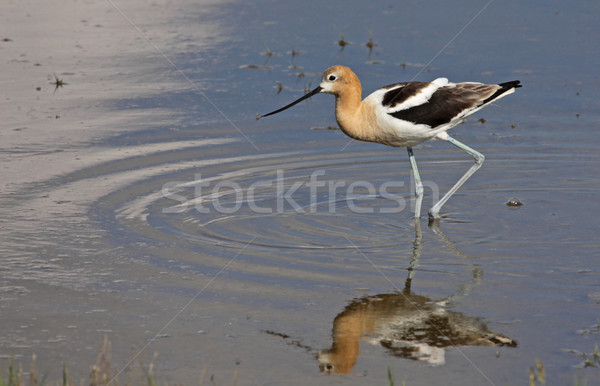 Poised American Avocet