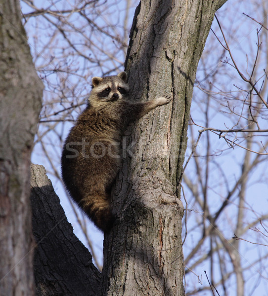 Tree Hugging Raccoon