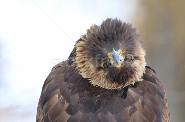Dourado Águia para trás olhando câmera Foto stock © ca2hill