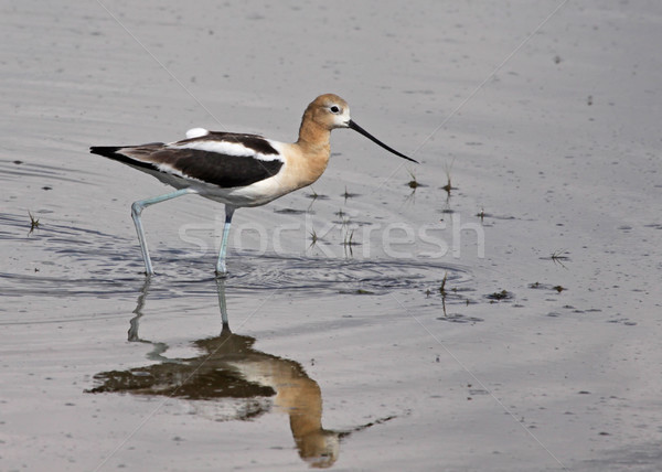 American Avocet Wading