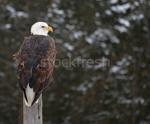 Chauve aigle garde post neige relevant Photo stock © ca2hill