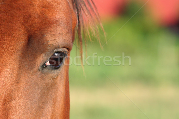 Horse Eye Stock photo © ca2hill