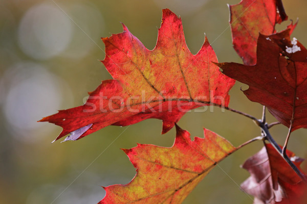 Red Oak Tree in Fall